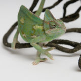 Chameleon on white background closeup Stock Photos