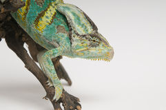 Chameleon on white background closeup Stock Image