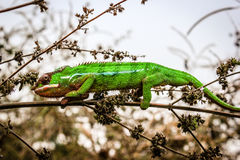 Chameleon in the wild. A colorful chameleon in the wild. Photographed in northern Madagascar Stock Images
