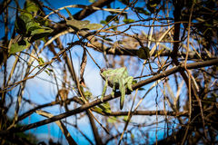 Chameleon in the wild. A colorful chameleon in the wild. Photographed in northern Madagascar Stock Photo