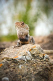 Agama Royalty Free Stock Photo