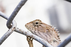 Chameleon on wire mesh Stock Photos
