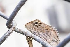 Chameleon on wire mesh Stock Photos