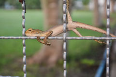 Chameleon on wire mesh Royalty Free Stock Image