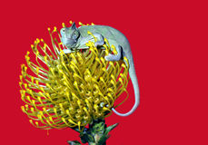Chameleon on a yellow flower Stock Photos