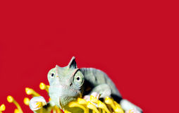 Chameleon on a yellow flower Stock Photo