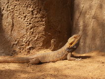 Chameleon yellow Stock Photography