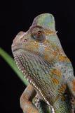 Chameleon - Yemen. Veiled or Yemen Chameleon posing against a black background in close-up royalty free stock photos