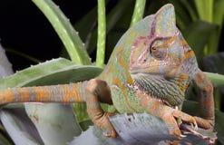 Chameleon - Yemen Royalty Free Stock Photography