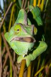Chameleon from Yemen called Yemen chameleon or dragon or lizard with open mouth. And focusing with the eyes the next meal Royalty Free Stock Photography