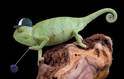 Chameleon yo yo. A veiled chameleon is playing with his yo yo Royalty Free Stock Photo