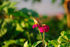 Chameleon on Zinnia Royalty Free Stock Photo