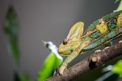 Chameleon in the zoo: Close-up picture of a chameleon climbing on a tree branch. Closeup of a chameleon climbing on a tree branch, zoo lizard animal wildlife royalty free stock photography
