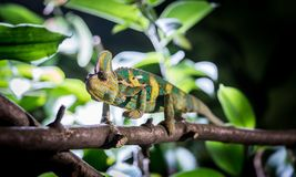 Chameleon in the zoo: Close-up picture of a chameleon climbing on a tree branch. Closeup of a chameleon climbing on a tree branch, zoo lizard animal wildlife royalty free stock photos