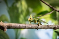 Chameleon in the zoo: Close-up picture of a chameleon climbing on a tree branch. Closeup of a chameleon climbing on a tree branch, zoo lizard animal wildlife stock photos
