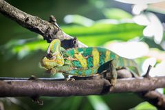 Chameleon in the zoo: Close-up picture of a chameleon climbing on a tree branch. Closeup of a chameleon climbing on a tree branch, zoo lizard animal wildlife stock image