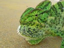 chameleons fotografia stock