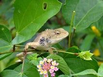 Chameleons Stock Images
