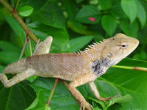 Chameleons Royalty Free Stock Images