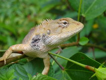 Chameleons Stock Image