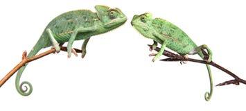 Chameleons - Chamaeleo calyptratus. On a branch isolated on white Royalty Free Stock Images