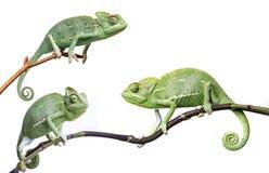 Chameleons - Chamaeleo calyptratus. On a branch isolated on white Royalty Free Stock Photography