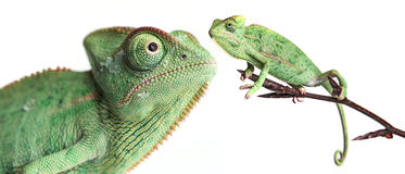 Chameleons - Chamaeleo calyptratus. On a branch isolated on white Stock Photo