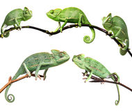 Chameleons - Chamaeleo calyptratus. On a branch isolated on white Stock Photos