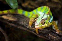 Chameleons or chamaeleons. Chamaeleonidae Royalty Free Stock Photos