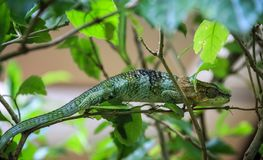 Chameleon, Amber Mountain National Park, Diana, Madagascar. Chameleons or chamaeleons family Chamaeleonidae are a distinctive and highly specialized clade of Old Stock Images
