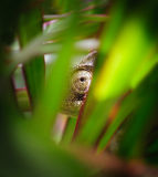Chameleons eye. A chameleon looking through green plants in cyprus Royalty Free Stock Photos