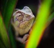 Chameleons eye 3. A chameleon looking through green plants in cyprus Royalty Free Stock Photo