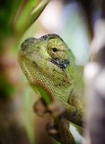 Chameleons eye 4. A chameleon looking through green plants in cyprus Stock Images