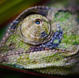 Chameleons eye 5. A chameleon looking through green plants in cyprus Royalty Free Stock Photo