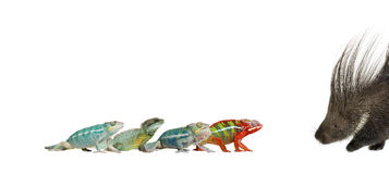 Chameleons and porcupine against white background