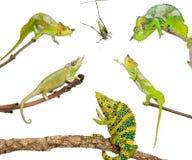 Chameleons reaching for grasshopper. In front of white background royalty free stock image