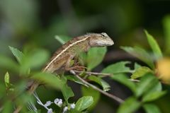 Chameleons are scaly, long tails, and can change the color of their skin royalty free stock photo