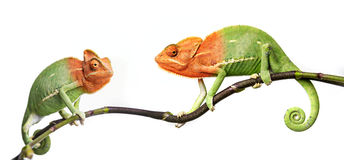 Chameleons Royalty Free Stock Image