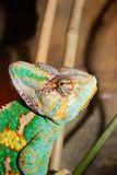 Chamelion. Colourful chamelion sitting in terrarium royalty free stock photos