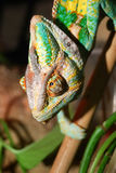 Chamelion close-up. Colourful chamelion sitting in terrarium royalty free stock image
