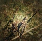 Chamellion Na drzewie obraz stock