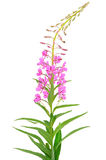 Chamerion angustifolium. Pink flower Chamerion angustifolium isolated on white background Stock Images