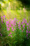 Chamerion angustifolium, also called fireweed. A beautiful pink purple wild flower stock photo