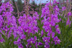 Chamerion angustifolium. Or fireweed plant stock photography