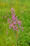 Chamerion angustifolium, commonly known in North America as fireweed flower. Chamerion angustifolium, commonly known in North America as fireweed royalty free stock photos