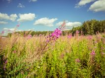 Chamerion Angustifolium Fireweed, Great Willow-herb, Rosebay Wi stock photos