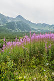 Chamerion angustifolium (fireweed, great willow-herb, rosebay willowherb) from mountain ridge in the background Royalty Free Stock Photos