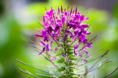 Chamerion angustifolium, fireweed, great willowherb, rosebay willowherb, willow-herb stock photos
