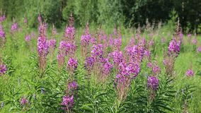 Chamerion angustifolium Fireweed kwitnie na letnim dniu w łące zdjęcie wideo