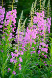 Chamerion angustifolium flowers. Close up view, selective focus stock image